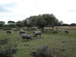 Iberico pigs 1