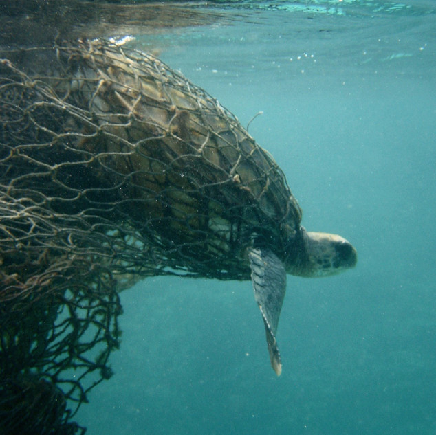 turtle tangled in ghost nets