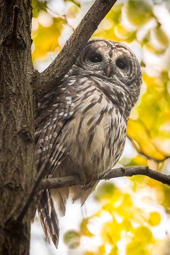 central park barred owl.jpeg