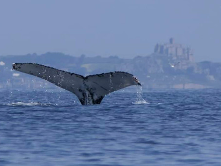 Humpback Whales in Mounts Bay