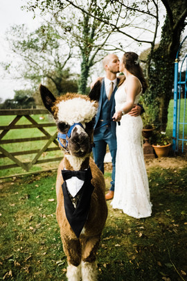 Little Man the Alpaca by Verity Westcott Photography