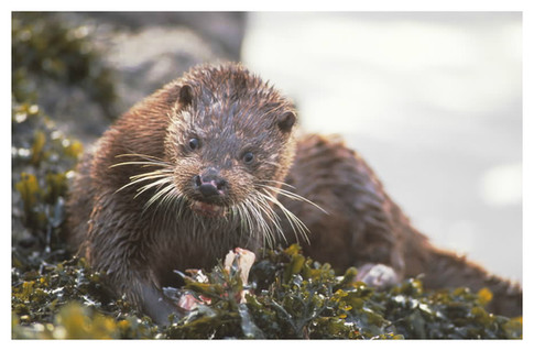 wildlife_otter_white_border.jpg