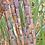 Thumbnail: Sugarcanes (Ebikajjo)