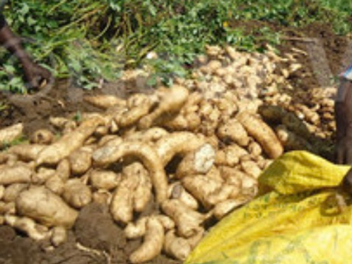 Sweet potatoes (Lumonde)