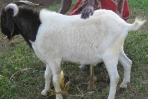 Goat (Embuzi)