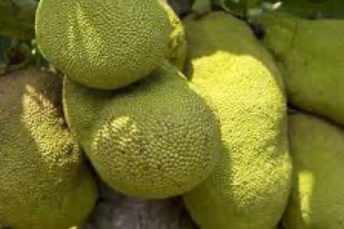 Jackfruits (Ffene)