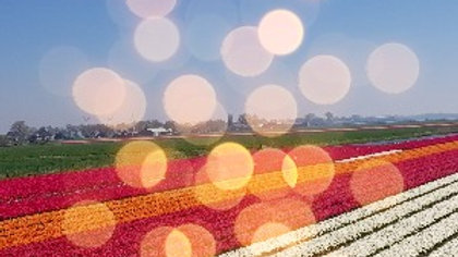 Tulip Field, Red Orange and White