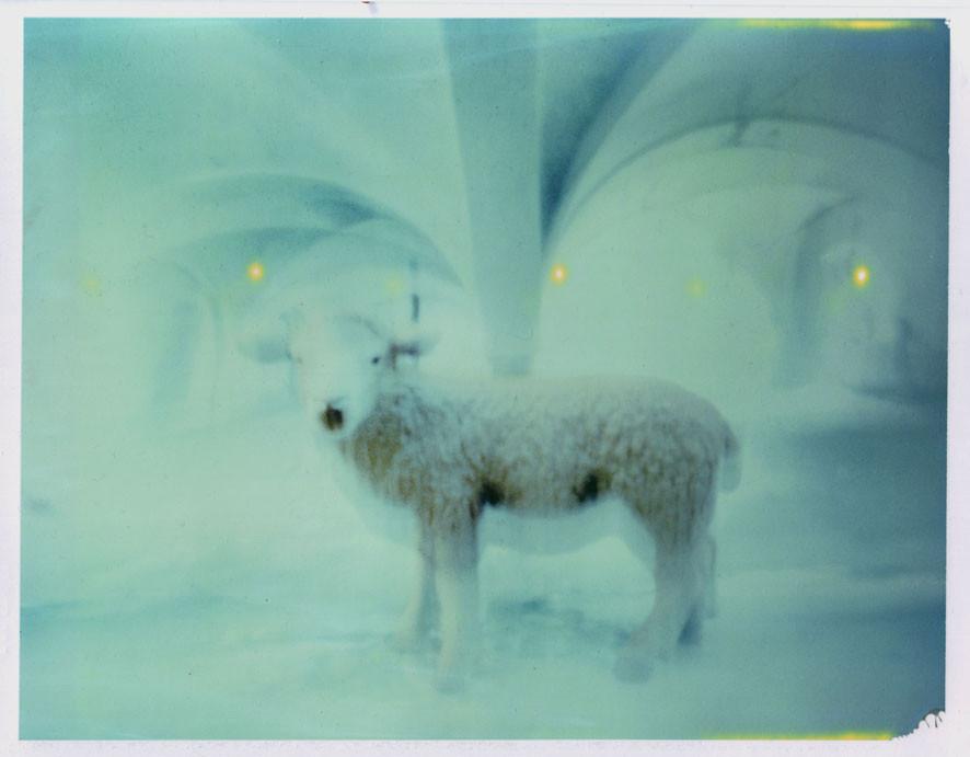Kulisse Schaf Polaroid