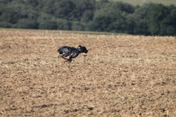 Breton gallop
