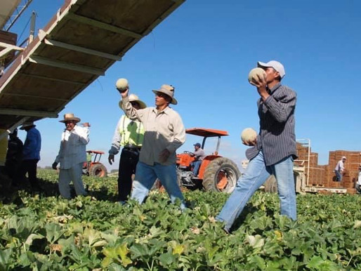 History of melons in Arizona