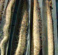 自然薯栽培の様子