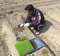 カミツレ栽培の様子