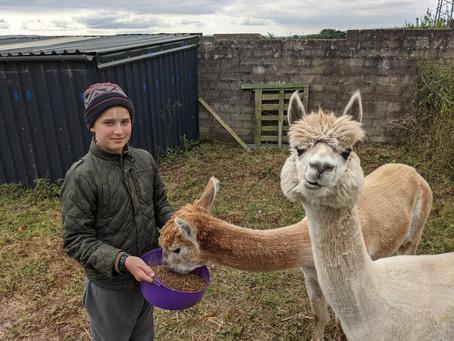 Our lovely Alpacas