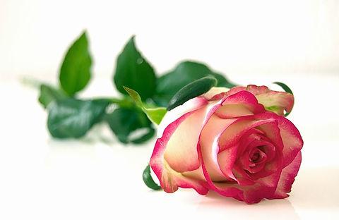 rose-301406_640.jpg