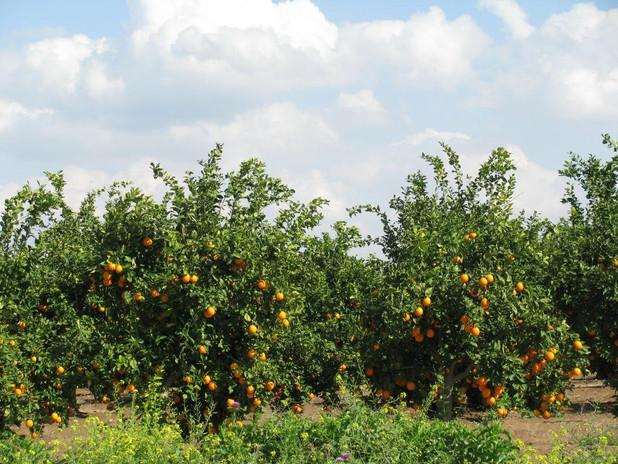 PikiWiki_Israel_2697_Plants_of_Israel_פר