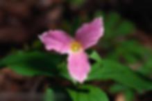 Purple trillium flower
