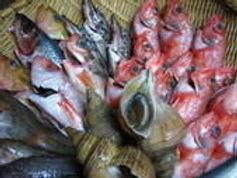 空輸の新鮮な地魚たち
