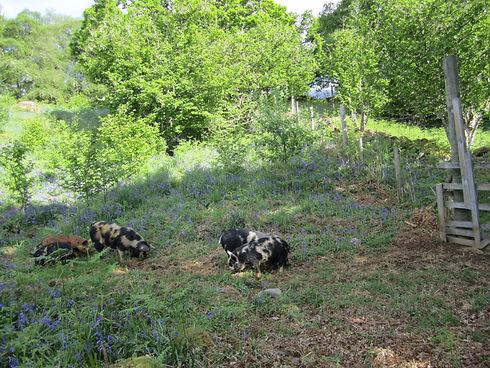 Pigs in Wood.jpg