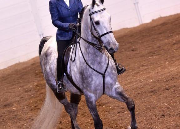 Friends of the ASB Hunter Pleasure Horse