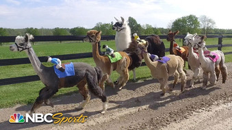 2019 Alpaca Mock Race at Black Horse Manor