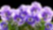 Sirop à la violette