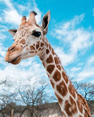 2 Giraffe.jpg