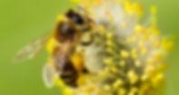 Bees-Matter-Honey-Bee-600x321.jpg
