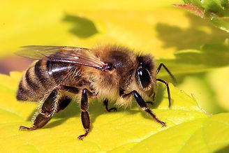 Honey_bee_(Apis_mellifera)_edited.jpg