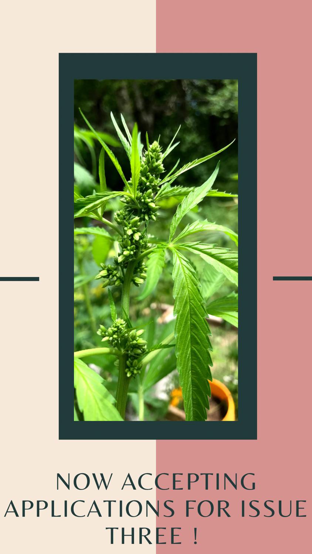 Cannabis plant male