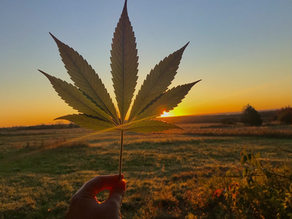 Legal Canadian Cannabis update, November 2020.