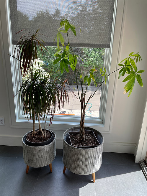 Lot 50 - Two Live Trees
