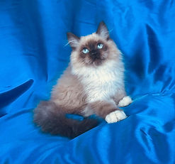E.  Seal Mitted Male Ragamuffin born to Panda & Leo on 6-13-2021 is $1500 + $120 tax