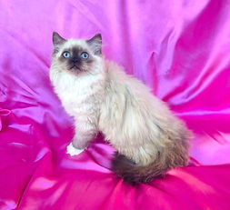 D. Ragamuffin Seal Mitted female born 6-13-2021 to Panda & Leo is $1500 + $120 tax.