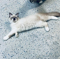 A1.  Sweet Male Clown Faced Ragdoll born to Skyler & Bigfoot on 4-30-21 is reduced to $1250 + $100 tax because he just turned 4 months old.