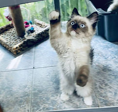 """SOLD on 8-15-2021 to Alexandra Cadena & her son Aiden our Ragdoll Seal Mitted Male born to Doodle & Cat Man Do on 5-5-21 & named him """"OLIVER""""."""