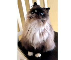 """Natalie Chandler got a baby Ragdoll in 2016 & here is """"Meaux"""" now"""