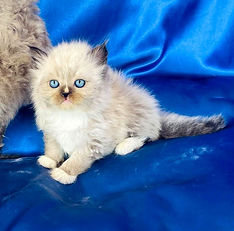 F. Ragdoll male Seal Mitted with Blaze born 6-21-21 to Snickers & BigFoot is $1800 + $144 tax