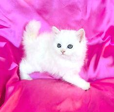 O.  What a beautiful White Ragamuffin of Powder Puff & Leonardo born 7-27-2021 & she is $1800 + $144 tax.