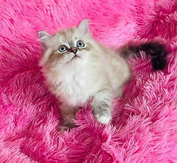 """SOLD 9-13-21 to Kami Celino in New Orleans La. our Female Mitted Lynx Ragamuffin of Gracie & Leo born 5-1-21 & she named her """"MOET"""""""