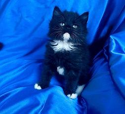 Q.  Ragamuffin Tuxedo male born 7-27-2021 to Powder Puff & Leonardo is $1800 + $144 tax.