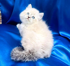 SOLD 9-19-21 to Leslie Dupont of New Orleans our Ragamuffin Male Mitted Lynx born 6-13-21 to Panda & Leo for $1800 + $144 tax