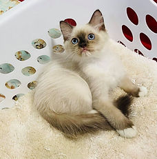 SOLD 9-18-21 to Riley Newton of Opelousas Louisiana our Ragdoll Seal Mitted female of Katy Anna & Shnuggle born 6-3-21 for $1500 + $120 tax