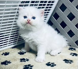 SOLD 9-20-21 to Karen Boudreau of California, ourRagamuffin White Blue eyed male born 8-12-21 to Penny Pie & King Puff for $1800 + $144 tax