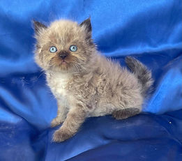 """SOLD 9-18-21 to Hailey & Dustin Wright-McCollum our Ragdoll Male Seal Point of Snickers & Bigfoot born 6-21-21.  His name is """"PRINCE MUFASA """" & he will be a Breeder in Michigan."""