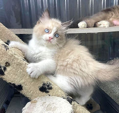 SOLD 9-20-21 to Julia Wright of New Orleans La. our Ragdoll Seal Bicolor female of Fuzzy & Shnuggle born 7-12-2021 for $1800 + $144 tax