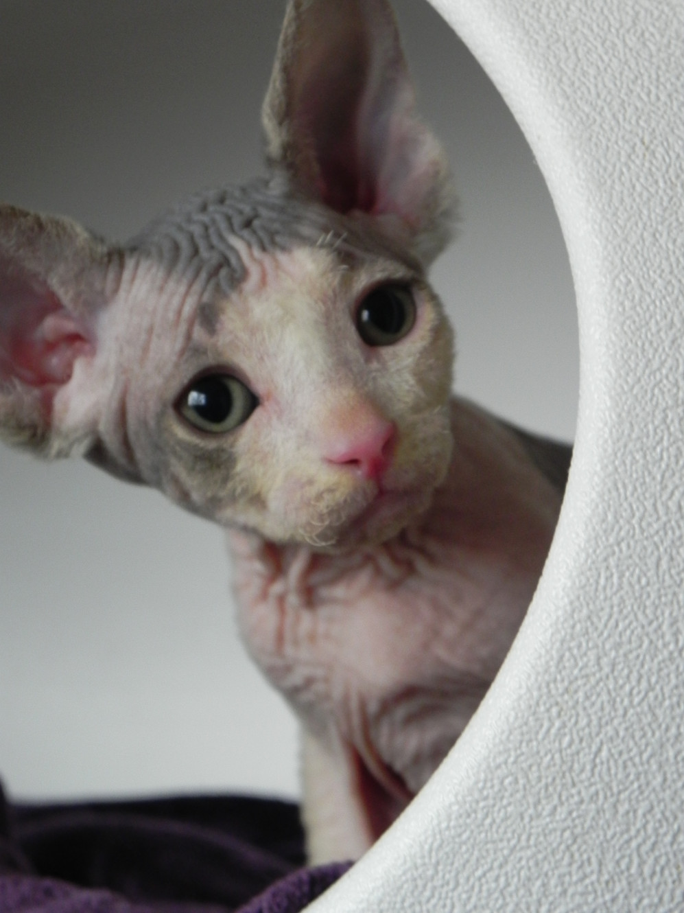 Sphynx kittens for sale in Missouri Allbare Sphynx, Hairless