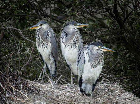 A Nest Of Herons by Dave Tawn.jpg