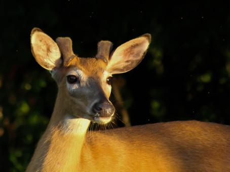 A Buck In Velvet
