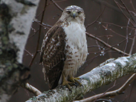 Red-tailed Hawk Visit