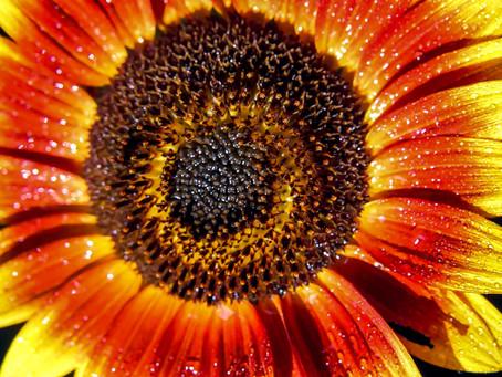 Living Life As A Sunflower